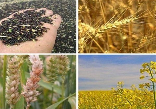 جزئیات خرید تضمینی ۲۵ قلم محصول زراعی در سال ۹۹-۹۸/ گندم ۲۲۰۰ تومان مصوب شد + جدول